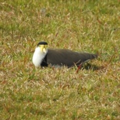 Vanellus miles (Masked Lapwing) at Berry, NSW - 10 Aug 2018 by Andrejs