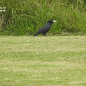 Corvus coronoides at Berry, NSW - 12 Mar 2018