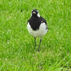 Grallina cyanoleuca (Magpie-lark) at Berry, NSW - 3 Jan 2018 by Andrejs