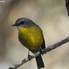Eopsaltria australis (Eastern Yellow Robin) at Shoalhaven Heads Bushcare - 27 May 2018 by Andrejs