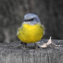 Eopsaltria australis (Eastern Yellow Robin) at Seven Mile Beach National Park - 2 Jun 2018 by Andrejs