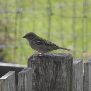 Passer domesticus at Berry, NSW - 3 Oct 2017