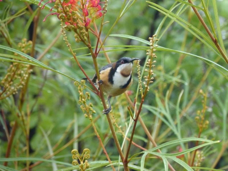 Acanthorhynchus tenuirostris at Berry, NSW - 21 Jul 2016