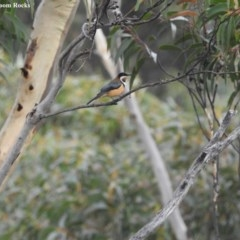 Acanthorhynchus tenuirostris (Eastern Spinebill) at Barren Grounds Nature Reserve - 19 May 2018 by Andrejs