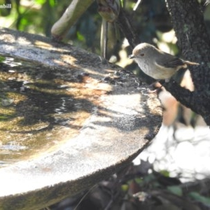 Acanthiza pusilla at Berry, NSW - 20 May 2018