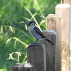 Cracticus torquatus (Grey Butcherbird) at Berry, NSW - 6 Feb 2019 by Andrejs
