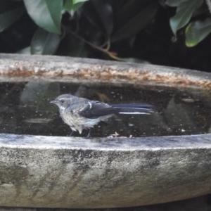 Rhipidura albiscapa at Berry, NSW - 4 Jan 2019