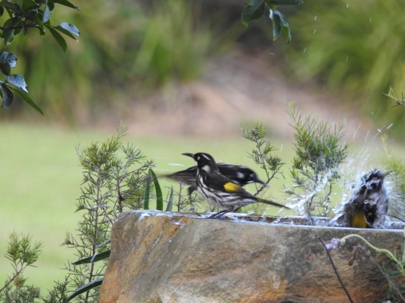 Phylidonyris novaehollandiae at Berry, NSW - 12 Jan 2019
