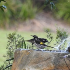 Phylidonyris novaehollandiae (New Holland Honeyeater) at Berry, NSW - 12 Jan 2019 by Andrejs
