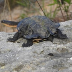 Chelodina (Chelodina) longicollis (Eastern long-necked turtle) at Vincentia, NSW - 27 Oct 2018 by Andrejs