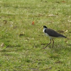 Vanellus miles (Masked Lapwing) at Vincentia, NSW - 27 Oct 2018 by Andrejs