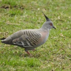 Ocyphaps lophotes (Crested Pigeon) at Berry, NSW - 6 Sep 2018 by Andrejs