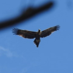 Aquila audax (Wedge-tailed Eagle) at ANBG - 21 Feb 2019 by HelenCross