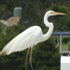 Ardea alba (Great Egret) at Berry, NSW - 4 Feb 2014 by Andrejs