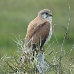 Falco cenchroides (Nankeen Kestrel) at Berry, NSW - 7 Jun 2014 by Andrejs
