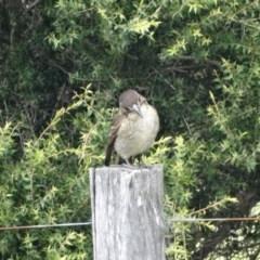 Cracticus torquatus (Grey Butcherbird) at Berry, NSW - 22 Jun 2014 by Andrejs