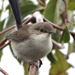 Malurus cyaneus (Superb Fairy-wren) at Berry, NSW - 19 Jul 2014 by Andrejs