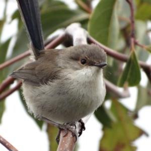 Malurus cyaneus at Berry, NSW - 20 Jul 2014