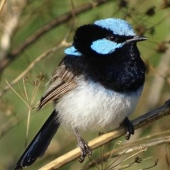 Malurus cyaneus (Superb Fairywren) at Jerrabomberra Wetlands - 13 Feb 2019 by roymcd