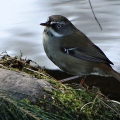 Sericornis frontalis (White-browed Scrubwren) at Berry, NSW - 2 Aug 2014 by Andrejs
