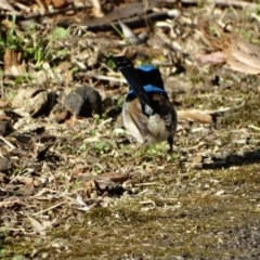 Malurus cyaneus (Superb Fairy-wren) at Booderee National Park - 8 Aug 2014 by Andrejs