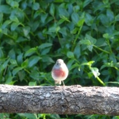 Petroica rosea (Rose Robin) at Berry, NSW - 9 Aug 2014 by Andrejs