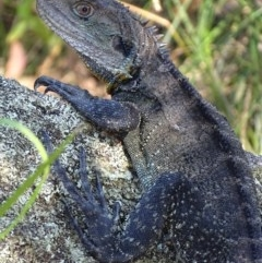 Intellagama lesueurii (Eastern Water Dragon) at Gibraltar Pines - 19 Feb 2019 by roymcd
