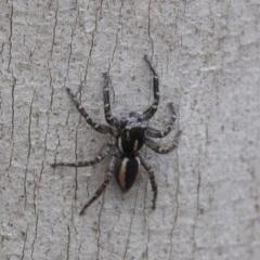 Jotus sp. (genus) (Unidentified Jotus Jumping Spider) at Namadgi National Park - 21 Feb 2019 by JudithRoach