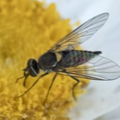 Australiphthiria hilaris (Slender Bee Fly) at Namadgi National Park - 21 Feb 2019 by JudithRoach