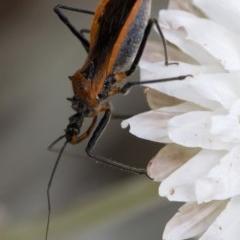 Gminatus australis (Orange Assassin Bug) at Namadgi National Park - 21 Feb 2019 by JudithRoach