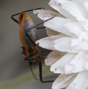 Gminatus australis at Namadgi National Park - 21 Feb 2019