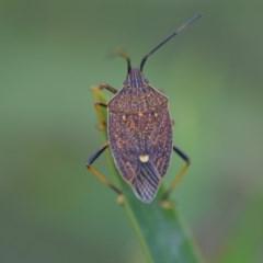 Poecilometis strigatus (Gum Tree Shield Bug) at Wamboin, NSW - 7 Dec 2018 by natureguy