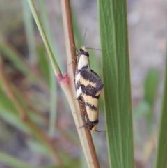 Olbonoma triptycha (Concealer moth) at Aranda Bushland - 21 Feb 2019 by CathB