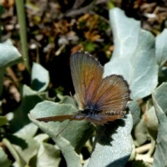 Theclinesthes serpentata (Saltbush Blue) at Wandiyali-Environa Conservation Area - 21 Feb 2019 by Wandiyali