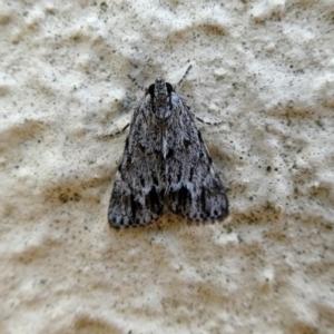 Spectrotrota fimbrialis at Wandiyali-Environa Conservation Area - 22 Feb 2019