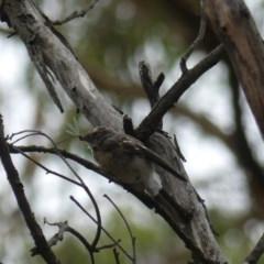 Rhipidura fuliginosa (Grey Fantail) at Mount Ainslie - 21 Feb 2019 by WalterEgo