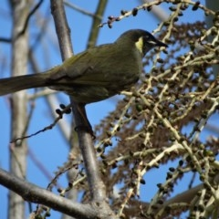 Meliphaga lewinii (Lewin's Honeyeater) at Berry, NSW - 9 Aug 2014 by Andrejs