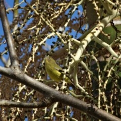 Acanthiza nana (Yellow Thornbill) at Berry, NSW - 9 Aug 2014 by Andrejs