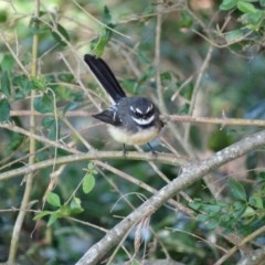 Rhipidura albiscapa (Grey Fantail) at Berry, NSW - 9 Aug 2014 by Andrejs