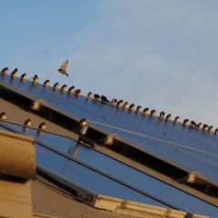 Hirundo neoxena (Welcome Swallow) at Berry, NSW - 15 Aug 2014 by Andrejs