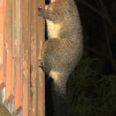 Trichosurus vulpecula (Common Brushtail Possum) at Rosedale, NSW - 15 Feb 2019 by jbromilow50