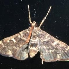 Nacoleia rhoeoalis (A Crambid moth) at Rosedale, NSW - 16 Feb 2019 by jbromilow50
