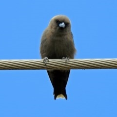 Artamus cyanopterus (Dusky Woodswallow) at Jerrabomberra Wetlands - 20 Feb 2019 by RodDeb