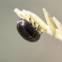 Ditropidus sp. (genus) (Leaf beetle) at Mulligans Flat - 22 Feb 2019 by AlisonMilton