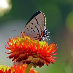 Jalmenus evagoras (Imperial Hairstreak) at ANBG - 22 Feb 2019 by RodDeb