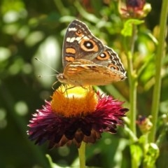 Junonia villida (Meadow Argus) at ANBG - 22 Feb 2019 by RodDeb