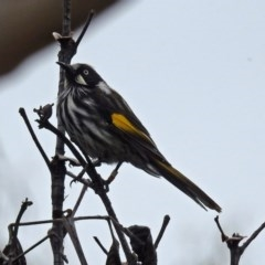 Phylidonyris novaehollandiae (New Holland Honeyeater) at ANBG - 21 Feb 2019 by RodDeb