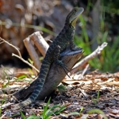 Intellagama lesueurii (Eastern Water Dragon) at ANBG - 22 Feb 2019 by RodDeb