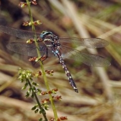 Adversaeschna brevistyla (Blue-spotted Hawker) at ANBG - 22 Feb 2019 by RodDeb