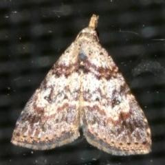 Alapadna pauropis (Alapadna pauropis) at Rosedale, NSW - 16 Feb 2019 by jbromilow50